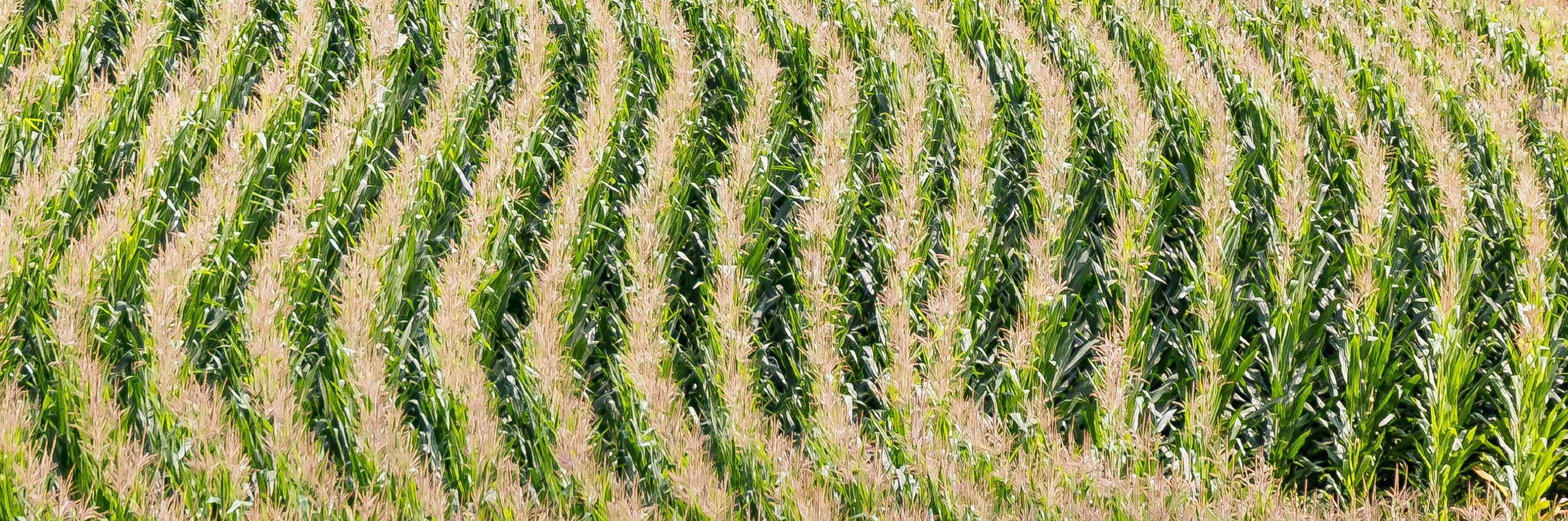 gw-fact-corn